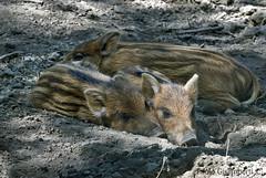 giovani Cinghiali, Sus scropha, Wild Boar cubs (paolo.gislimberti) Tags: animals pigs mammals mimicry animali cuccioli mimetismo maiali animalbehavior mammiferi suini comportamentoanimale