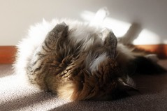 Big Softy (backbeatb00gie) Tags: sunlight home sunshine cat carpet furry funny soft floor belly indoors inside lounging elsie