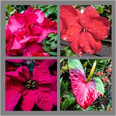 red flowers (Kai-Ming :-))) Tags: red greenleaves flower collage hongkong singapore sony challenge redflower kowloonpark kaiming gardenbythebay kmwhk
