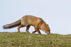 Vos (Koen Adriaenssen) Tags: wild brown nature beautiful danger canon paw wildlife tail beaty fox 7d 100400