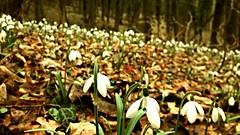 -Snowdrop () Tags: serbia priroda snowdrop srbija visibabe uma cvet srem     cvee