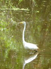 The Great White Fisher (failing_angel) Tags: florida wetland esterobay fortmyers fortmyer sixmilecypressslough sixmileslough 240515 sixmilecypresssloughpreserve linearecosystem naturaldrainageway