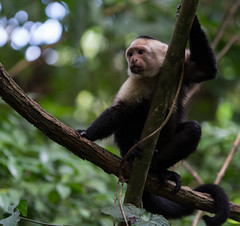DSC_5445-2 (b.solman) Tags: costa monkey rica whitefaced