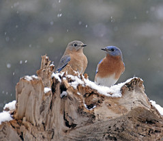 Love is in the air.... (picturesinmylife_yls) Tags: snowflakes spring bluebird