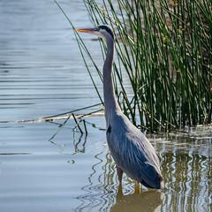 SanJoaquinWildlife-6 (rskim119) Tags: blue lake bird heron nature water animal landscape pond nikon san wildlife great reserve joaquin marsh tamron preserve sanctuary irvine shorebird 70300 irwd d3300