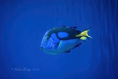 Blue Tang Fish (Victor Wong (sfe-co2)) Tags: ocean life travel blue sea vacation fish color colour macro tourism nature water rock aquarium marine colorful underwater wildlife bottom tropical aquatic reef creature saltwater tang