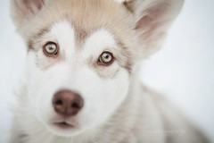 Manfred (Martyna Og) Tags: winter dog snow puppy wolf alaskanmalamute puppyeyes wolfdog doggyeyes