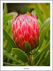 Protea (flatfoot471) Tags: summer england holiday nature cornwall unitedkingdom normal tresco islesofscilly abbeygardens 2015