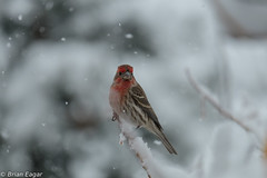 house finches in the snow 1 (Brian Eagar Nature Photography) Tags: snowflake winter light white snow storm tree bird nature outside utah outdoor finch housefinch wlidlife utahnature utahwildlife utahbird xf55200 fujixf55200 fujixt1