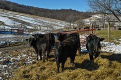 Munch on This (David Guidas) Tags: winter snow color detail rural cattle farm sigma dp hay merrill foveon