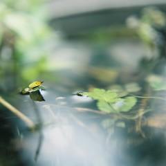 011 (Kahori YAGI_Kahoring) Tags: reflection 120 film water leaves zeiss square fuji jena medium pentacon p6 pentaconsix arax fujicolor czj carlzeissjena closeuplense biometar pro400 photographicfilter