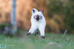 Flying cat (grimaux.jordan) Tags: blue playing eye grass cat fun fly flying play ninja kitty siamese ears ground paws