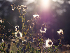 Late Summer Light (timslater61) Tags: olympus seeds flare wildflowers backlit zuiko em1 40150r