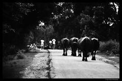 Going Home (rajivchopra.photo) Tags: india nature birds clouds evening cattle dusk waters goinghome naturalbeauty buffaloes endofday centralindia raneh bundelkhnd kennaturereserve