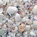 Mollusc shells on marine beach (Sanibel Inn Beach, Sanibel Island, Florida, USA) 9