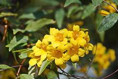 Yellow Jasmine (Jim Atkins Sr) Tags: flowers flower nc jasmine sony vine northcarolina woodbine jessamine carolinajasmine gelsemiumsempervirens yellowjasmine eveningtrumpetflower fairfieldharbour sonya58