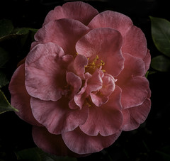 Pink Flower (Bill Gracey) Tags: pink flower nature fleur flor camelia naturalbeauty softbox sidelighting macrolens darkbackground directionallight offcameraflash camelliajaponica lastoliteezbox yongnuorf603n yn560iii
