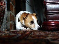 Ruh-roh (Squatbetty) Tags: holly jackrussell jackrussellterrier parsonsjackrussell hollybee ruhroh