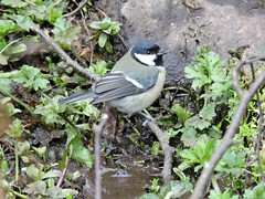 Great tit (Deanne Wildsmith) Tags: