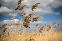 Against the Wind (Steve Millward) Tags: flowers england sky cloud sun plant nature sunshine easter season 50mm spring nikon outdoor scenic attenborough bluesky d750 fullframe pampasgrass goodfriday 2016