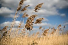Against the Wind (Steve Millward) Tags: nikon d750 50mm fullframe spring season nature sky cloud attenborough flowers england bluesky sunshine outdoor scenic sun plant pampasgrass easter goodfriday 2016 bokeh