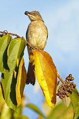 streak-eared bulbul (pycnonotus blanfordi)2 (Colin Pacitti) Tags: bird animal outdoor ngc bulbul wildbird coth specanimal streakearedbulbul pycnonotusblanfordi eiap fantasticwildlife birdperfect hennysanimals sunrays5