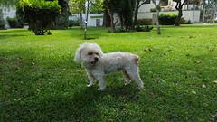Lima - Parque Eduardo Villena Rey (Santiago Stucchi Portocarrero) Tags: miraflores lima perú santiagostucchiportocarrero hund perro can cane chien dog hound