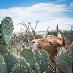 A Cow Will Eat Cactus Too (Maria Sciandra) Tags: cactus sky green mexico cow sanmigueldeallende mariasciandraphotography nikond7200