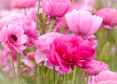 """""""Pink Dreams""""  / Giant Tecolote Ranunculus Flowers (Cathy Lorraine) Tags: california ranch pink plant flower beauty giant outdoors coast spring pacific ranunculus farmland coastal oceanside fields carlsbad magical springtime the tecolote"""