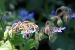 Week 17 of 52 - Leaf or Flower Buds (Robert F. Carter Travels) Tags: new flowers flower florida birth fresh borage lakeland starflower flowergarden solanaceae flowergardens hollisgardens