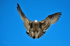 The Joker's Higher (vgphotoz) Tags: california sky nature high nikon outdoor seagull ngc nikkor bif thejoker supershot vgphotoz