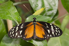 Tiger Longwing / Vlinder / Heliconius hecale (Greeney5) Tags: macro butterfly insect insects vlinder insecten heliconiushecale vlindertuin tigerlongwing heliconius hecalelongwing tropischevlindertuin goldenlongwing goldenheliconian vlindertuinkleincostarica kleincostarica