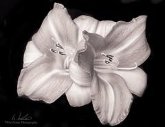 Daylilies (Wes Pettus) Tags: california flowers blackandwhite closeup zeiss garden toned daylilies