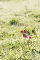 Kievitsbloem-9325 (Josette Veltman) Tags: flower spring lente rare zwolle overijssel bloem zwolse tulp zeldzaam kievitsbloem kievitsbloemen