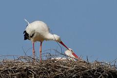 Liebesbezeugung (frodul) Tags: bird deutschland nest outdoor wildlife natur paar hannover ni horst stork vogel storch flgel frhjahr ciconiaciconia federkleid zrtlichkeit weisstorch