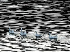 Patinhos na Lagoa (Luis Carlos de Santana (LUCS)) Tags: blackandwhite lake textura water gua lago outdoor sopaulo ducks pb sp ibirapuera lagoa pretoebranco patos ibira nankim aoarlivre 2patinhos