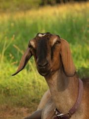 Morgan (wrj95) Tags: field farm goat nubian