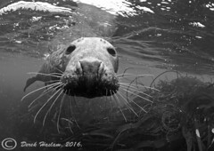 Grey Seal.16. (hsacdirk) Tags: angle wide diving seals scilly