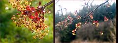 Acer rubrum  Rot-Ahorn (Karl Hauser) Tags: flowers flower germany garden deutschland flora pflanzen acer garten badenwrttemberg acerrubrum kniebiskarle