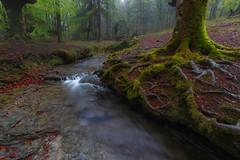 Raices (Alfredo.Ruiz) Tags: tree green grass leaves fog forest river spain foggy beech moos