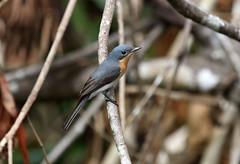 IMG_2411 (Dan Armbrust) Tags: australia queensland cannon satin flycatcher australianbirds queenslandaustralia armbrust 70d daintreebirds danarmbrust