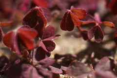Creeping woodsorrel (Gbox5000) Tags: life new summer sun plant macro nature outside leaf spring purple young twink growth dirt 55mm april oxalis creeping woodsorrel corniculata vivatar