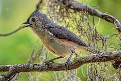 Tufted Titmouse (lpd5358) Tags: bird florida tuftedtitmouse johnchesnutpark
