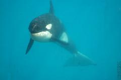 moana2 (neku.chou) Tags: ocean sea nikon dolphin killer whale orca valentin dauphin killerwhale marineland freya moana keijo d60 cetacean orcinus antibe cetacea orque cétacé épaulard inouk wikie cetacé occulaire killerswhales