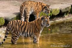 Tiger / Tigre (Doris & Michael S.) Tags: animals tiere tiger tigre  tiergartennrnberg