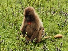 Etiopa: Parque nacional de las Montaas Simien (Txaro Franco) Tags: parque unesco worldheritagesite afrika ethiopia montaa nacional gelada frica etiopa babuino patrimoniodelahumanidad simienmountainsnationalpark parquenacionaldelasmontaassimien