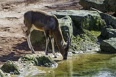 Antelope drinking (Tambako the Jaguar) Tags: water germany zoo pond nikon profile drinking hannover soil antelope hanover gazelle d4