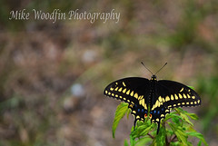 Giant Swallowtail Butterfly (Papilio cresphontes). (Mike Woodfin) Tags: park blue bird art nature photoshop butterfly photography photo artwork nikon pretty fuji florida photos awesome picture bluejay ibis photograph fl fowl hillsborough hillsboroughcounty mikewoodfin mikewoodfinphotography