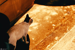 (rabbit7419999) Tags: cats cat waiting taiwan taipei  a99 sal85f14za