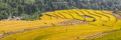 K3517-20.1012.Nấm Dẩn.Xín Mần.Hà Giang (hoanglongphoto) Tags: panorama plant canon landscape asian asia outdoor terraces harvest vietnam hillside mountainlandscape phongcảnh treehill hàgiang mountainouslandscape vietnamlandscape ngoàitrời đôngbắc phongcảnhviệtnam canoneos1dsmarkiii thựcvật châuá vietnamnorth đôngnamá mùagặt ruộngbậcthang xínmần lúachín đồicây nấmdẩn vietnamterraces ruộngbậcthanghàgiang sườnđồi phongcảnhruộngbậcthang phongcảnhhàgiang phongcảnhxínmần
